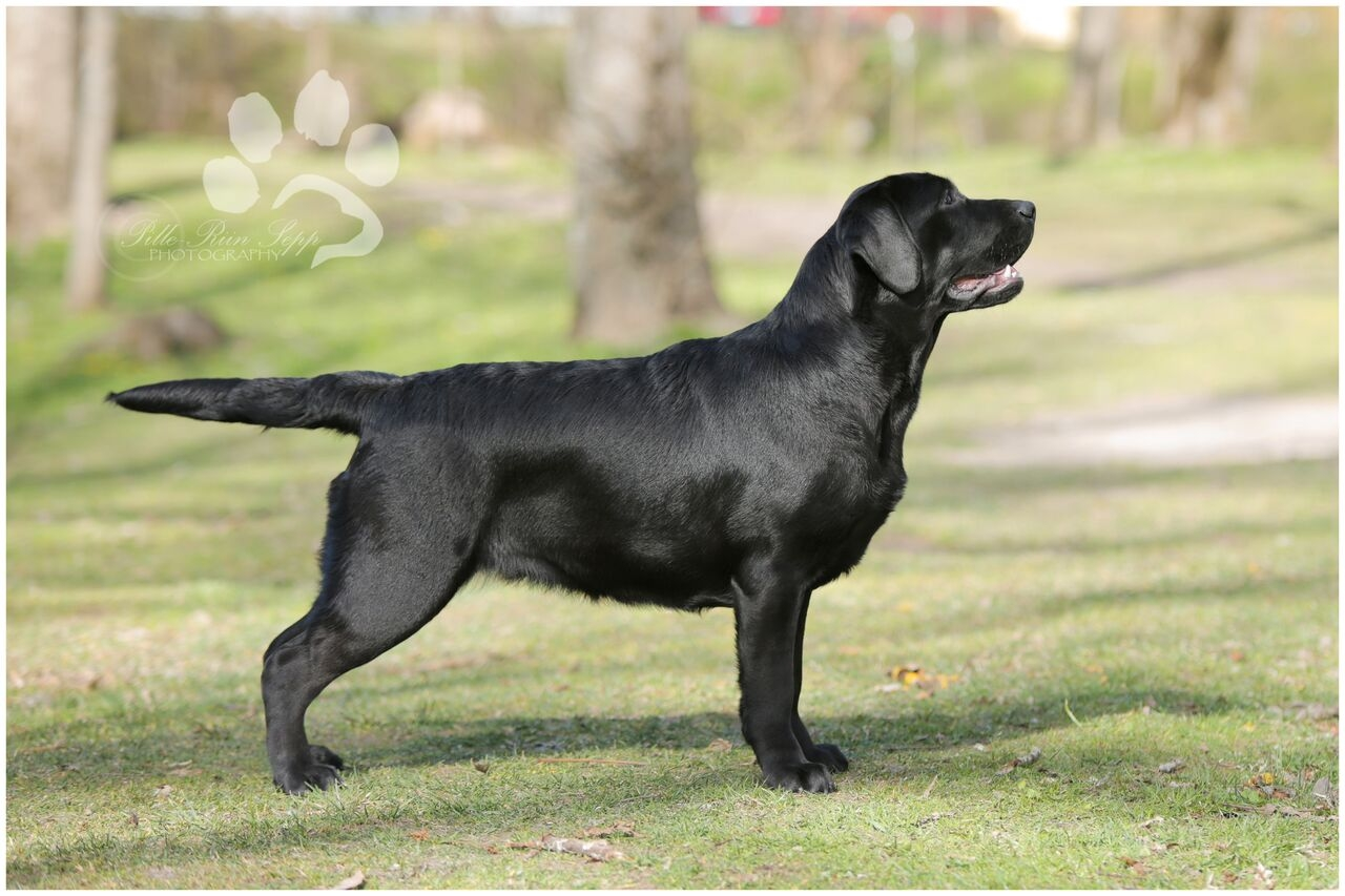 Lilli 11 months old, BOB-Junior at the Labrador Retrivere Club Puppy Springshow (May 2017). Photo by talented Pille-Riin Sepp.