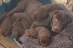 My Brand Zillion Kisses with her first litter in kennel Adventurers. Good luck!