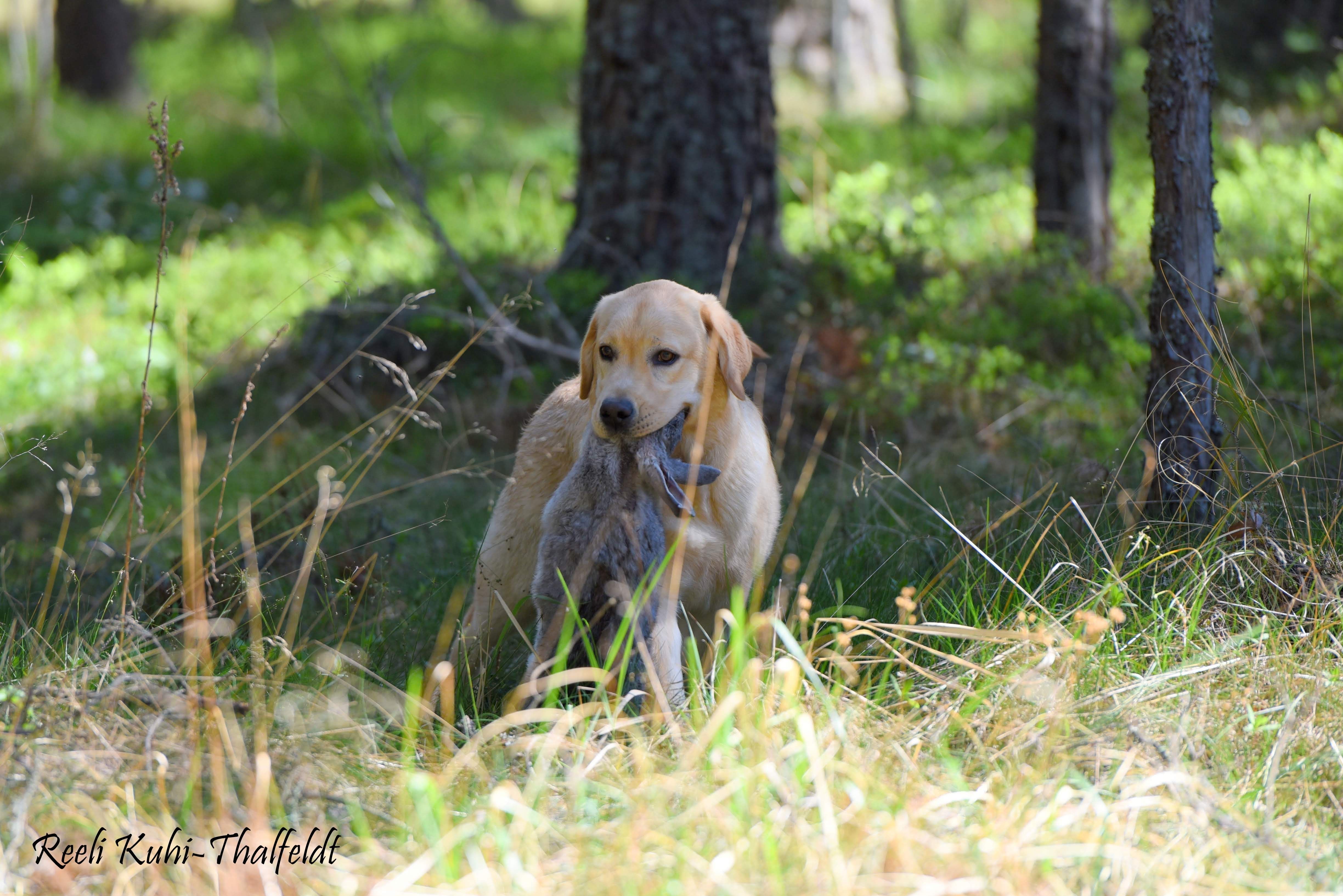 """Touch My Soul Reverie Stream \""""Hera\"""" training for her breed trials. Thank you for the wonderful work you have done with her, Anneliis!  Photo by Reeli Kuhi-Thalfeldt."""