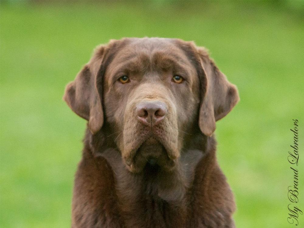 Headshot of Genuine My Brand Optimus Canis, 1,5 years old
