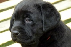 Lulaby Baby Malmesbury Optimus Canis