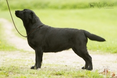 Lulaby Baby Malmesbury Optimus Canis at the age of 3 years