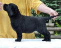 Lulaby Baby Malmesbury Optimus Canis at the age of 7 weeks