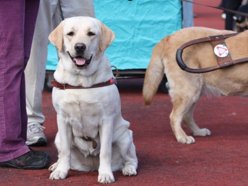 My Brand Edelweiss training to become a blind guiding dog