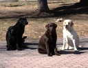 four-dogs