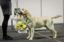 At the all-breed national dog show in Tartu 10.01.2015 Robbie was awarded BIG-2 and BIS-3 JUNIOR awards.