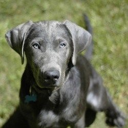 silver-labrador-retriever