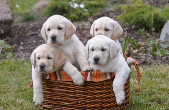 yellow-puppies